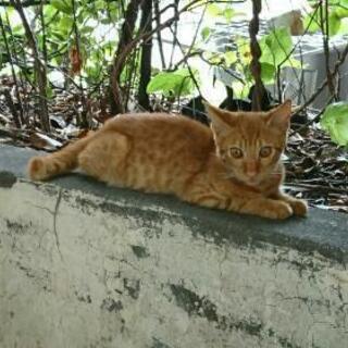 可愛い茶トラの子猫、おそらく生後2ヶ月ぐらいです。