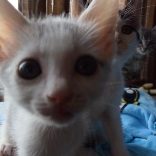 オス・生後1か月(他に仔猫がたくさんいます)