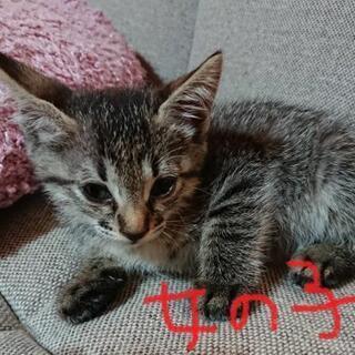 子猫の優しい里親さん募集(*^^*)