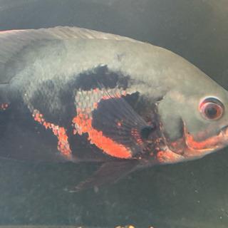 早い者勝ち ワイルド レッドベリーオスカー リオブランコ 熱帯魚