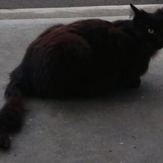 長毛黒猫瞳ちゃん一歳