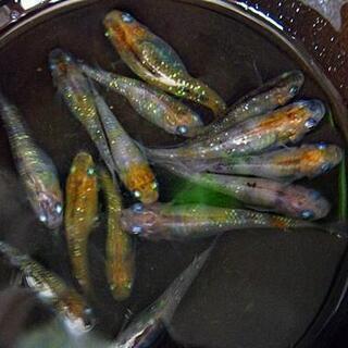 三色ラメメダカの若魚②22匹の画像