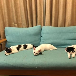 白黒ハチワレ4ヶ月子猫4匹募集中