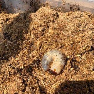 カブトムシ幼虫を譲ります
