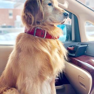 ゴールデンレトリバー7歳オス - 犬