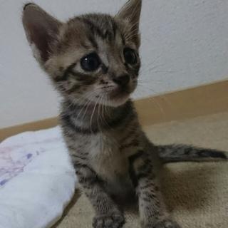 生後1ヶ月の子猫!里親を募集です。