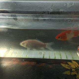 金魚 4匹 里親お願いします。お届け相談下さい