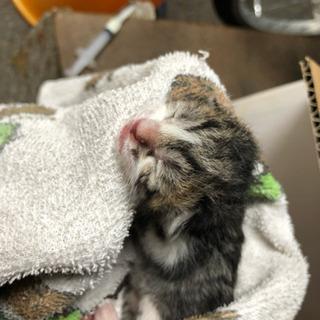 里親募集 生後3日くらいの子猫