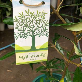 オリーブの木  ヒナカゼ