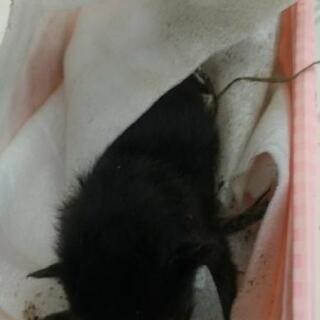 黒い赤ちゃんオス猫!