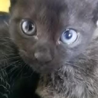無事里子に出ました。7/4生まれ 黒子猫 姉妹か母娘2匹以上で