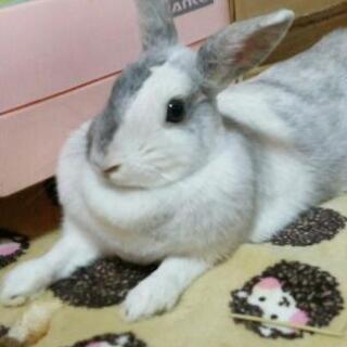 ミニウサギ、1歳の女の子です。