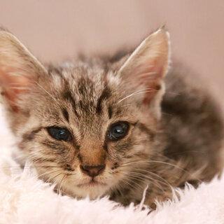 歯磨き粉サイズの激ちっさいアメショー系トラの子猫を保護しました。...