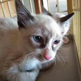 子猫保護  至急里親さん募集