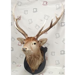 ♪ハンティングトロフィー 鹿の剥製 頭部 角 80巾 札幌♪