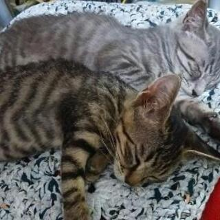 生後2か月 2匹保護 子猫の里親さま募集