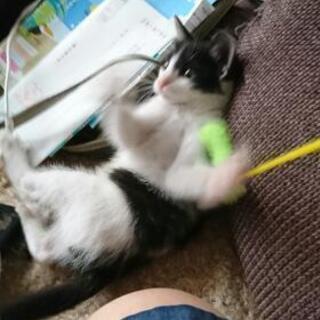 (生後2ヶ月くらい)可愛いハチわれ子猫ちゃん - 水戸市