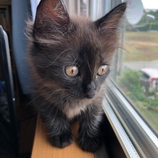 もふもふ長毛黒猫 家族募集