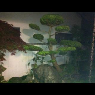 槇の木 松の木 岩 石 植木 材料 日本庭園 無料‼️‼️