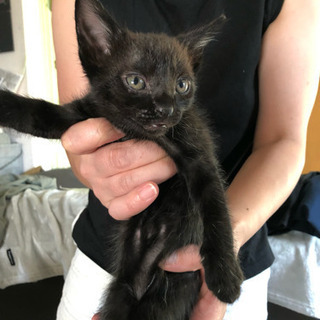 子猫オス  1か月半 3匹の里親募集