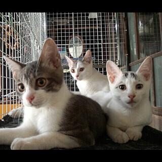 サバシロの3兄妹、生後3箇月です
