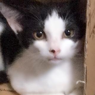白黒ハチワレ女の子の子猫ちゃん