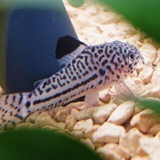 コリドラス ジュリー (アクアリウム 熱帯魚 ナマズ)