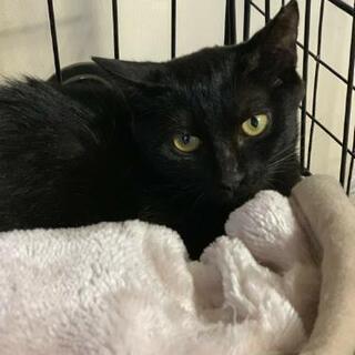 クッキーちゃん5ヶ月の黒猫の女の子、避妊ワクチン済、里親募集