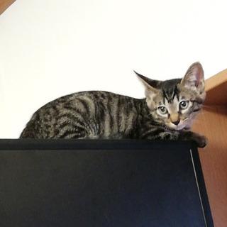【募集停止】子猫3姉妹のネネちゃん