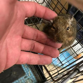 デグーマウス成体  めっちゃ可愛いです…平成29年7月生まれ? − 岡山県