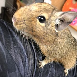 デグーマウス成体  めっちゃ可愛いです…平成29年7月生まれ?
