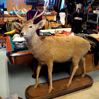 苫小牧~◆エゾシカ 鹿 鹿剥製 台座付き◆