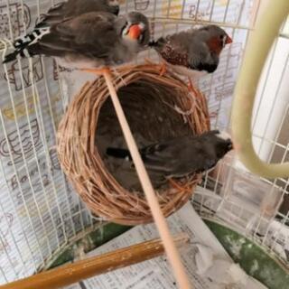 (お話中)キンカチョウ 4羽