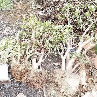 福島県発 中島村発 植木 花 かねのなる木 引き取り限定