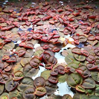 浮き草 フィランタス フルイタンス  メダカ水草熱帯魚