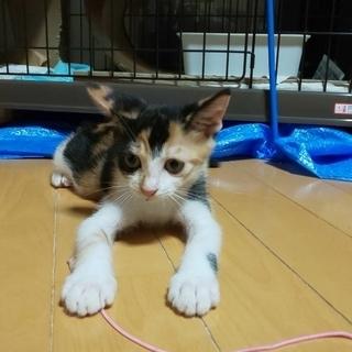 利口できれいな三毛子猫です。