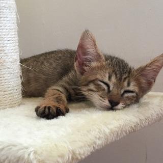 【動物病院 検診済み】仔猫🐈里親を探してます🙇♀️ - 那覇市