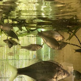 タナゴ他淡水魚