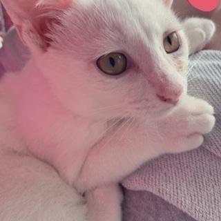 4ヶ月白猫くんの里親様募集してます!