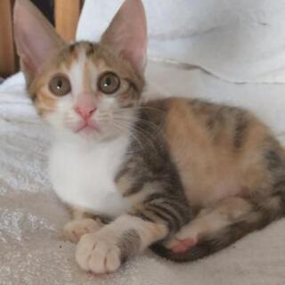 しま三毛猫さん推定2ヶ月半仮名ラテちゃんです