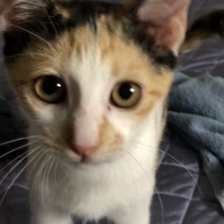 【里親募集】生後3ケ月のミケのメス猫です