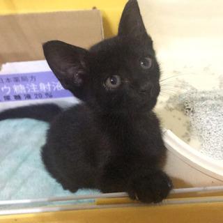 可愛い2ヶ月黒猫です