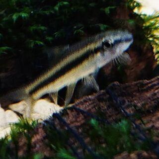 フライングフォックス カロプテルス (珍種 熱帯魚 アクアリウム...