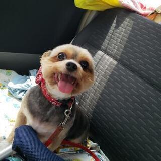 (再投稿)成犬ヨークシャーテリアとチワワのミックス