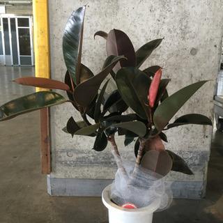 観葉植物 バーガンディ フィカス類