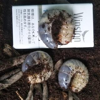 カブト虫幼虫(3令程)