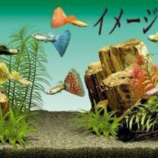 ★グッピー20匹MIX(親ペア+本年度産卵魚MIX)