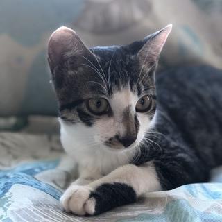 保護猫、去勢済、5月ケ月、膝に乗って話しかけます。