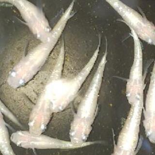 白ラメメダカ(白星河)の画像
