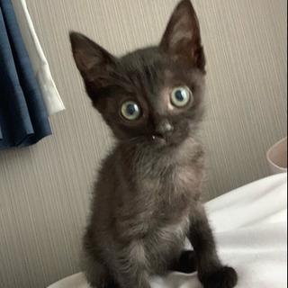 【決まりました!ありがとうございました!】黒色の子猫!女の子です!